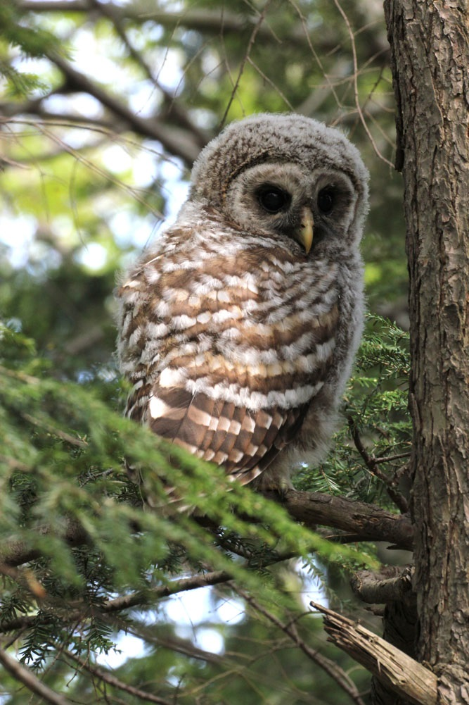 Barred Owl Foster