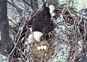 Avon Lake Eagles third egg-1