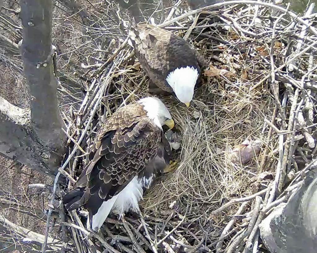 Eaglet1-1