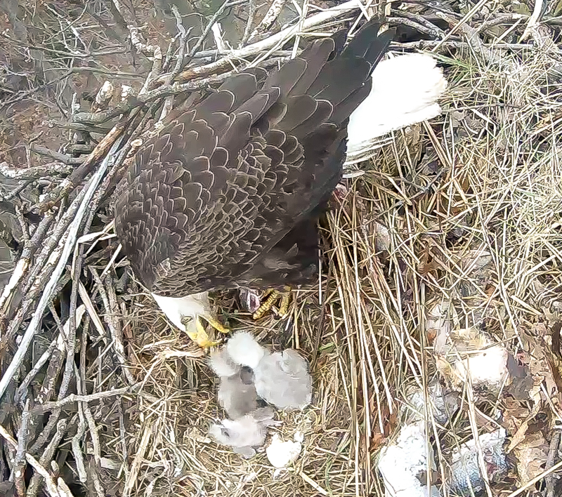 Redwood Eagle Nest Camera 4-11-2016 09-04-20.423-1