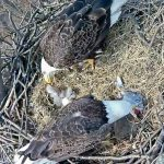 Baby Eaglet #2 2017-1-1