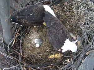 Baby Eaglet 2017-2
