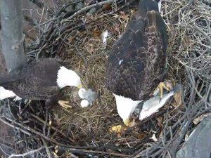 Baby Eaglet 2017-4