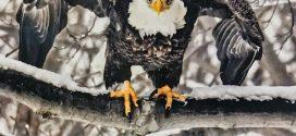 Avon Lake Redwood Eagle Calendars on Sale