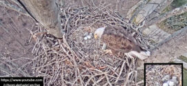 Easter Surprise! Two Redwood Elementary Eaglets Have Hatched
