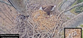 Third Times a Charm! Baby Number 3 for the Avon Lake Bald Eagles